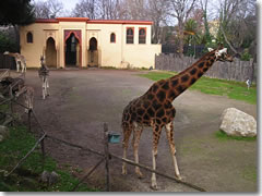 Giraffes at the Bioparco Zoo in Rome's Villa Borghese Park.